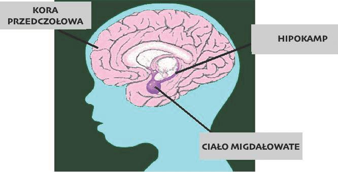 trauma-a-mozg-migdalowate-kora-przedczolowa-hipokamp